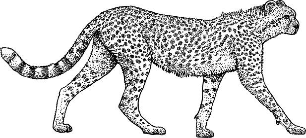 gepardillustration zeichnung gravur tinte