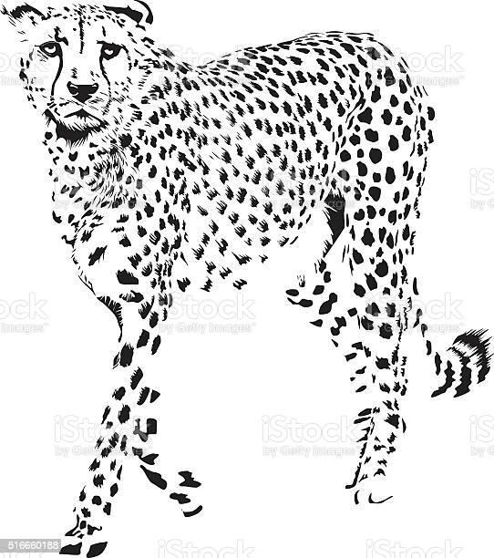 Cheetah vector id516660188?b=1&k=6&m=516660188&s=612x612&h=a2drg3p694g0kog72kdjrit9pbdksjcieaqp6lysv u=