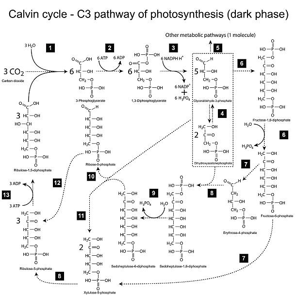 Photosynthesis Vektorgrafiken und Illustrationen