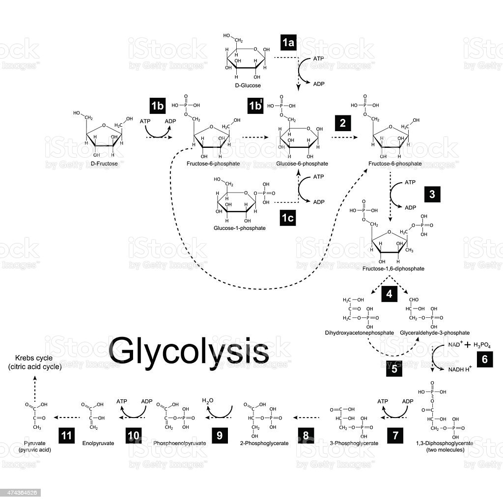 Chemical scheme of glycolysis metabolic pathway vector art illustration