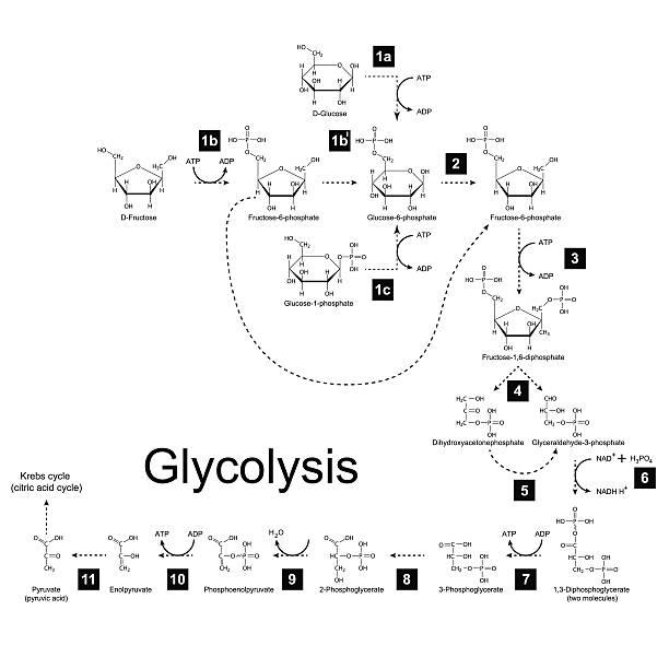 chemical regelung glycolysis metabolismus-pfad - enzyme stoffwechsel stock-grafiken, -clipart, -cartoons und -symbole