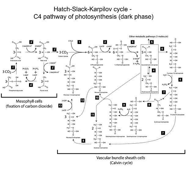 chemical regelung von hatch slack karpilov cycle - enzyme stoffwechsel stock-grafiken, -clipart, -cartoons und -symbole