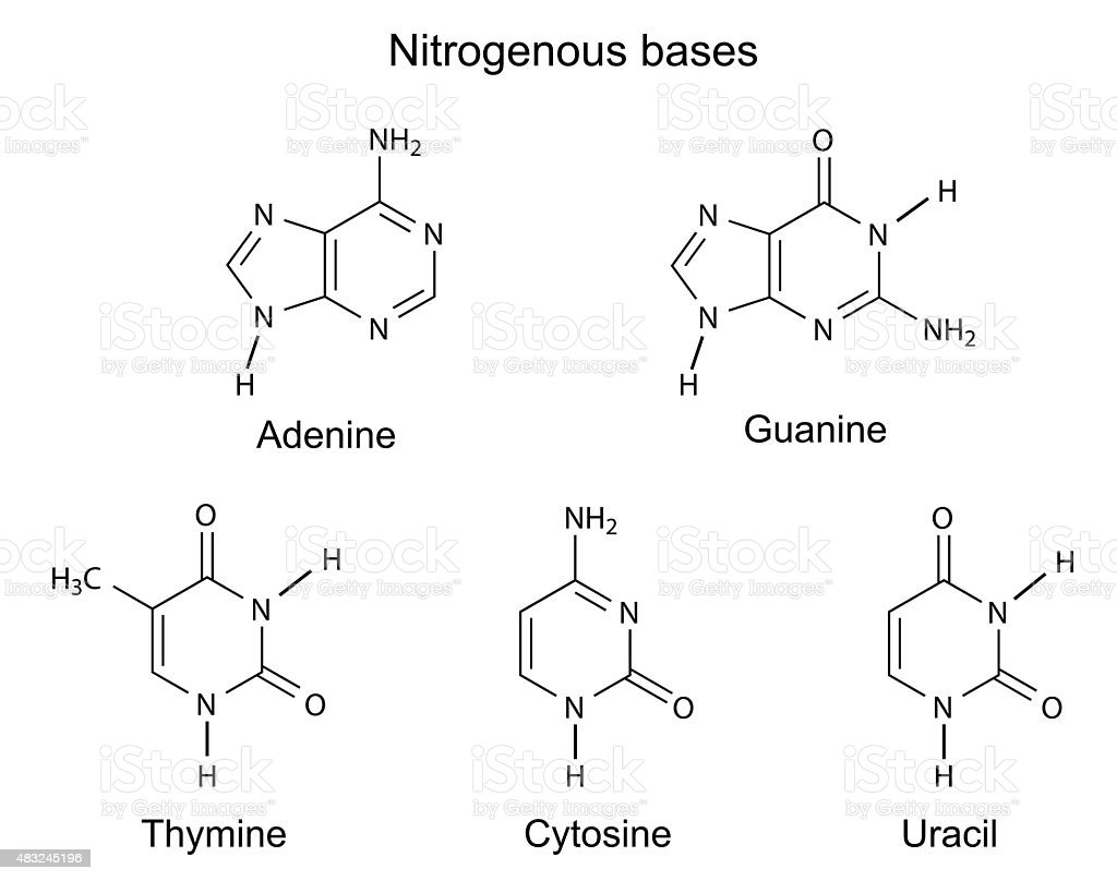 chemical structural formulas of nitrogenous bases stock vector art