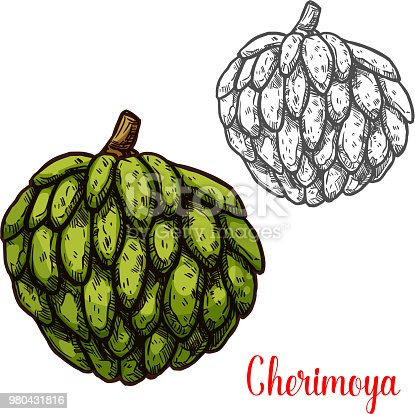 Cherimoya fruit sketch of colombian and indonesian tropical tree. Fresh and ripe green fruit of custard apple isolated icon of exotic dessert and healthy vegetarian food design