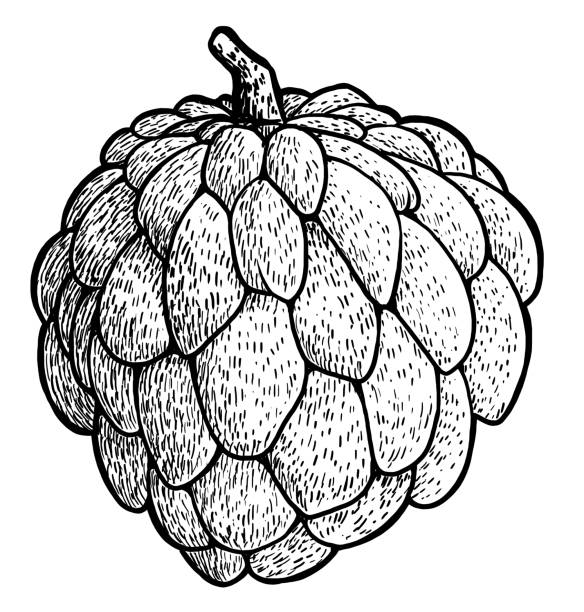 Custard Apple Coloring Pages : Pin sugar apple clipart fruit custard coloring page