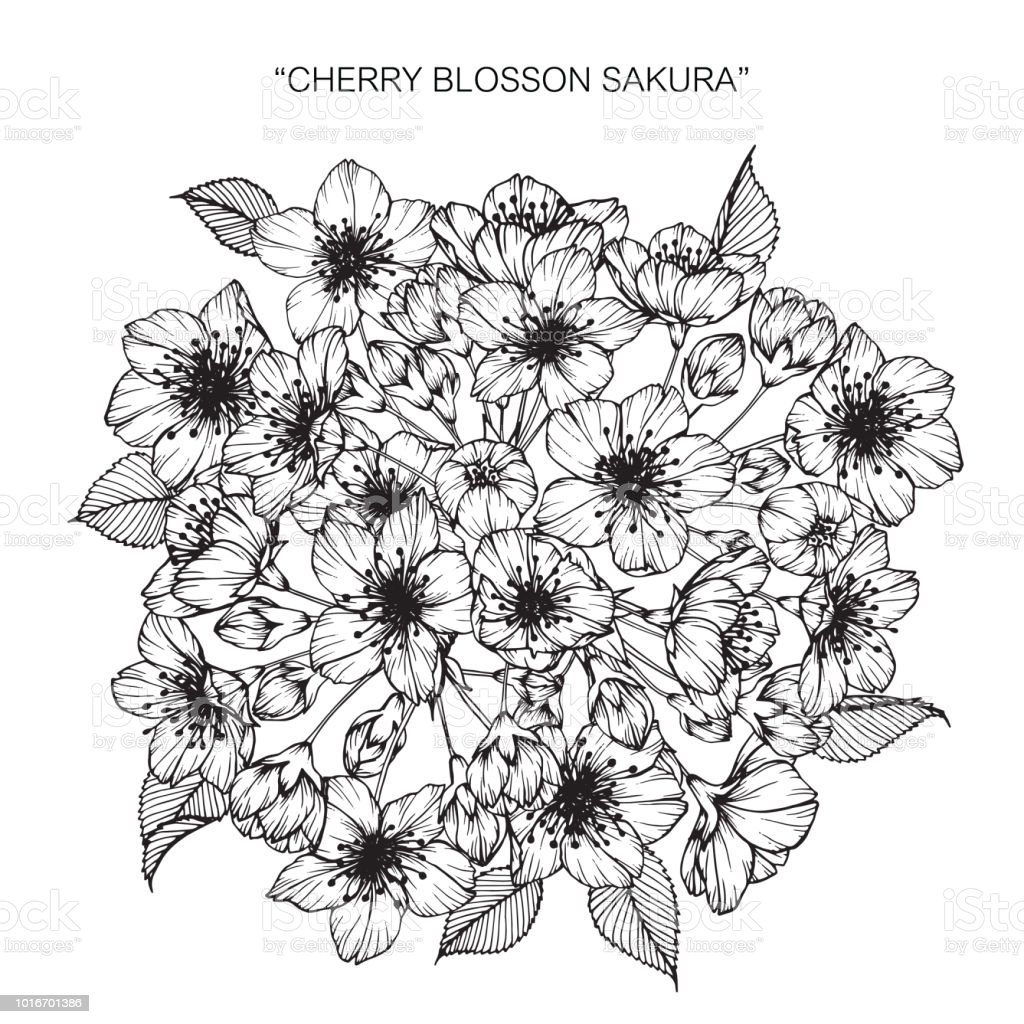 Cherry blossom flower drawing illustration. Black and white with line...