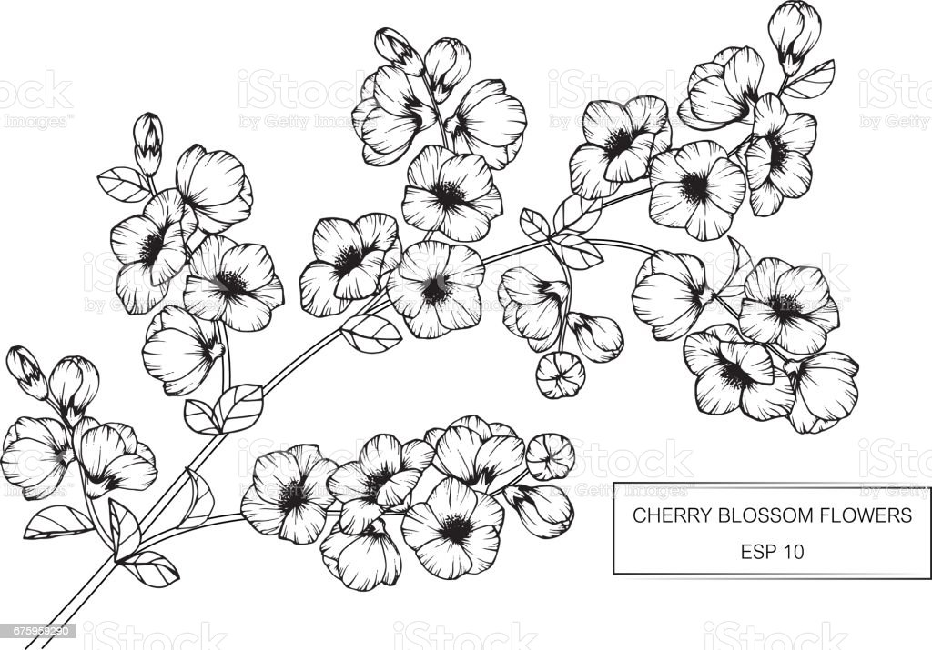 Cherry blossom flowers drawing and sketch with lineart on white cherry blossom flowers drawing and sketch with line art on white backgrounds royalty mightylinksfo Image collections