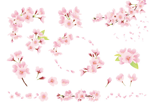 Cherry blossom illustration, decoration, design parts (color, no line, white background)