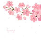 Cherry blossom on white background