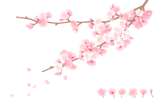 cherry blossom, pink flower and brunch