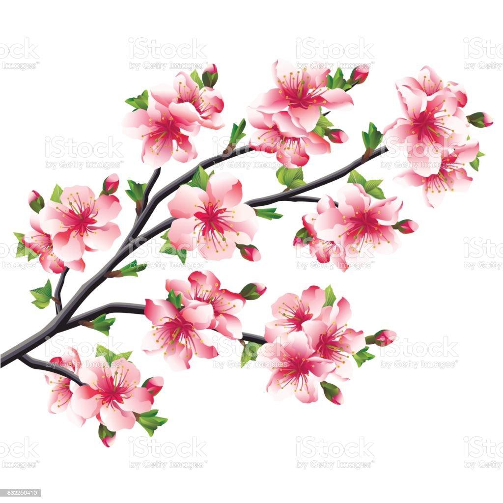 Cherry Blossoms Branch Japanese Tree Sakura Stock Vector Art More