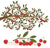 Cherry Branch and Fruit