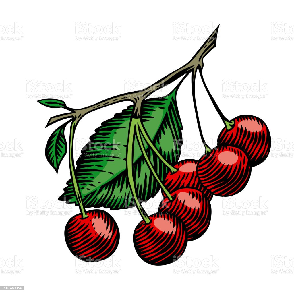 Cherry on the branch vector art illustration