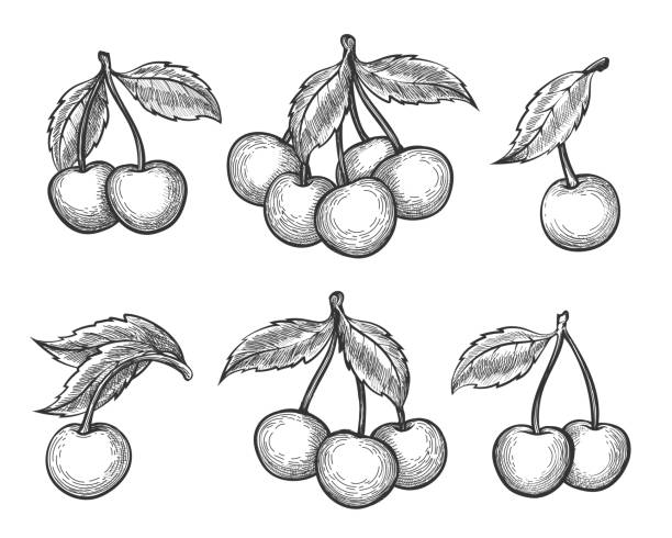 Cherry sketch icons set Cherry sketch. Vector engraved or hand drawn dessert cherry wild berries isolated on white background cherry stock illustrations