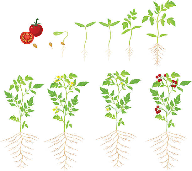 cherry tomato growing stage - cherry tomato stock illustrations