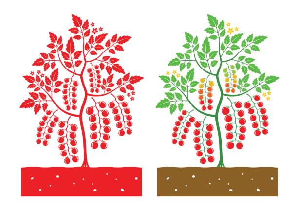 cherry tomato plant vector - cherry tomato stock illustrations