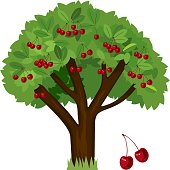 Cherry tree with green leaves and ripe cherry fruits on white background