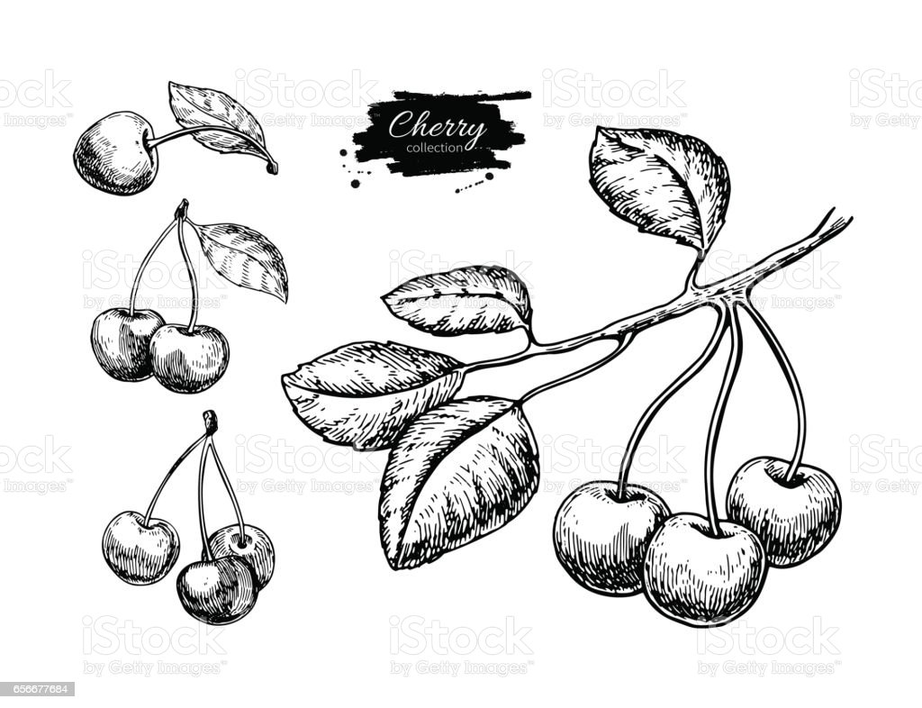 Cherry vector drawing set. Isolated hand drawn berry on white background. Summer vector art illustration