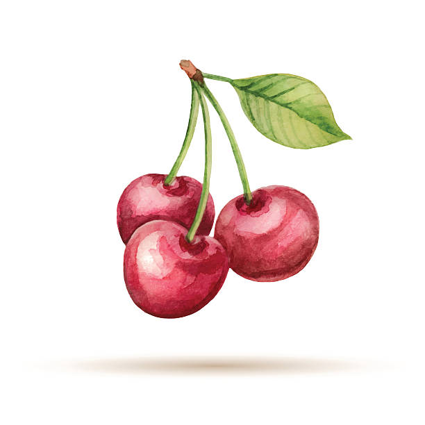 Cherry Cherry  hand drawn watercolor, on a white background. Vector illustration. cherry stock illustrations