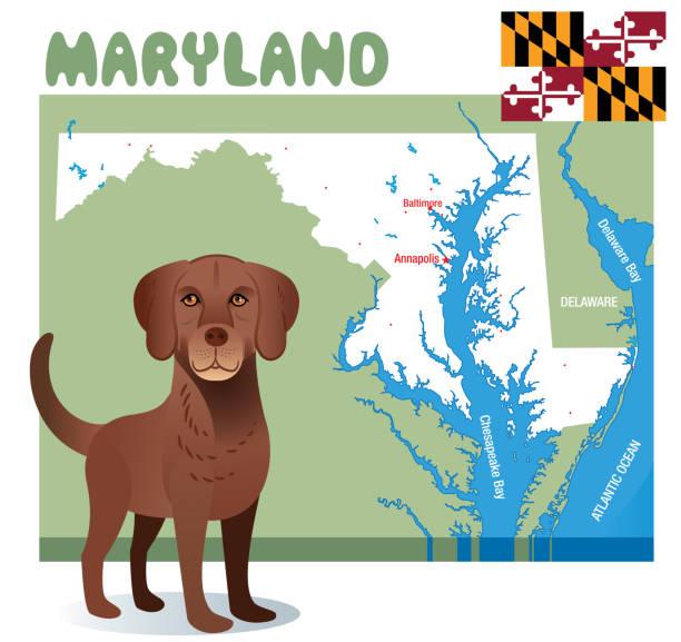 chesapeake bay retriever-maryland - salisbury stock-grafiken, -clipart, -cartoons und -symbole