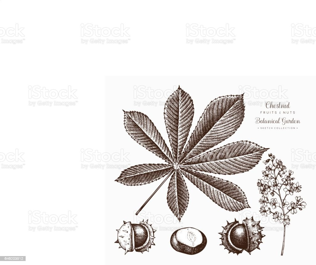 Chestnut illustration vector art illustration