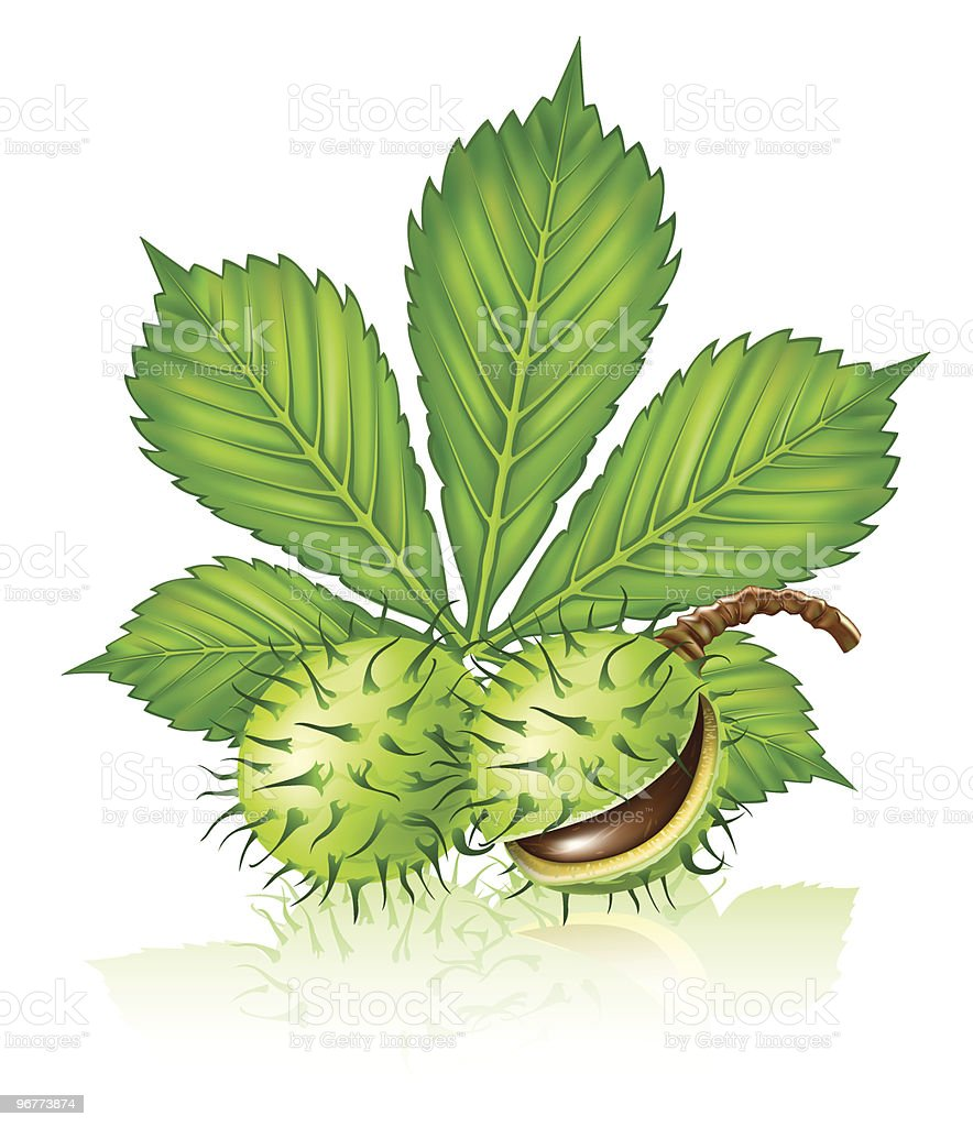 chestnut seed fruits with green leaf isolated royalty-free stock vector art
