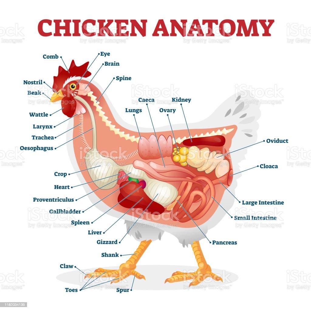 1º Chapter - Wild Hunt - Página 5 Chicken-anatomy-vector-illustration-labeled-biological-inner-organs-vector-id1182034135