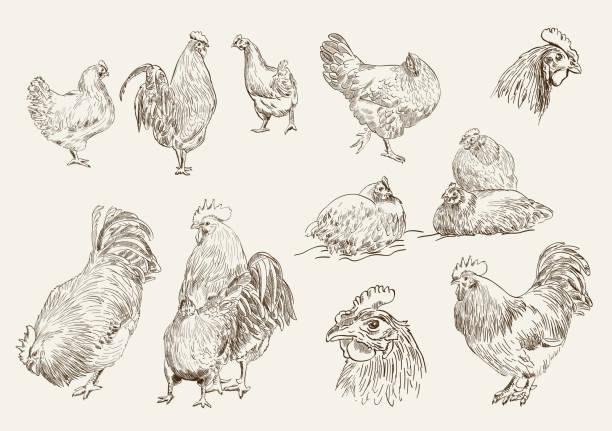 bildbanksillustrationer, clip art samt tecknat material och ikoner med chicken breeding - höna