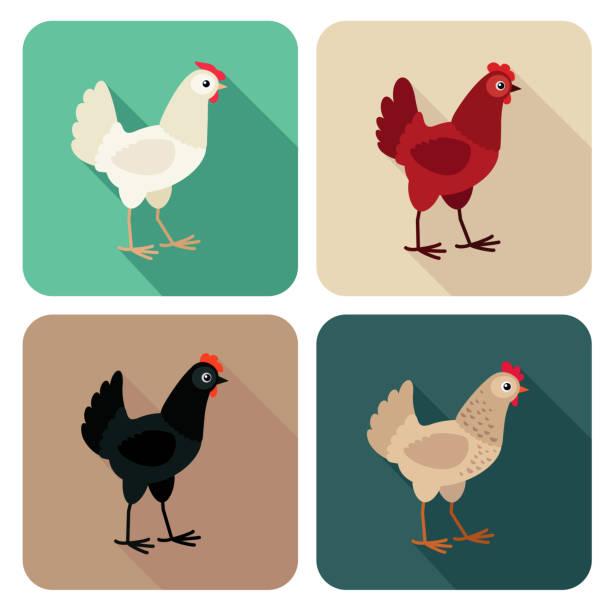 bildbanksillustrationer, clip art samt tecknat material och ikoner med kyckling raser ikonuppsättning i platt stil med långa skugga - höna