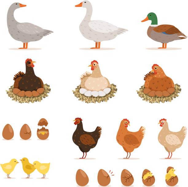 bildbanksillustrationer, clip art samt tecknat material och ikoner med kyckling avels höns, ankor och andra gården fåglar och hans ägg. vektor illustrationer i tecknad stil - höna