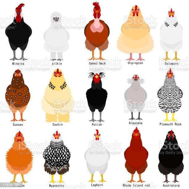 Chicken chart with breeds name vector id1141410902?b=1&k=6&m=1141410902&s=612x612&h=9nmmlsubr2k97j5yr5u2t9 8mu la1ymqrmikaz1lz8=