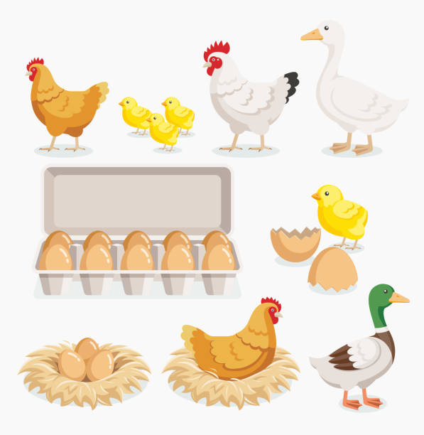 bildbanksillustrationer, clip art samt tecknat material och ikoner med chicken duck chick and chicken eggs on the nests. - hen