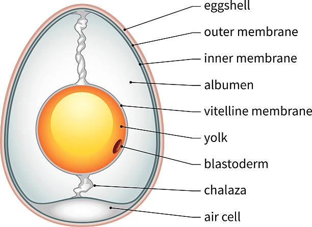 Chicken Egg Anatomy Chicken egg anatomy diagram. animal embryo stock illustrations