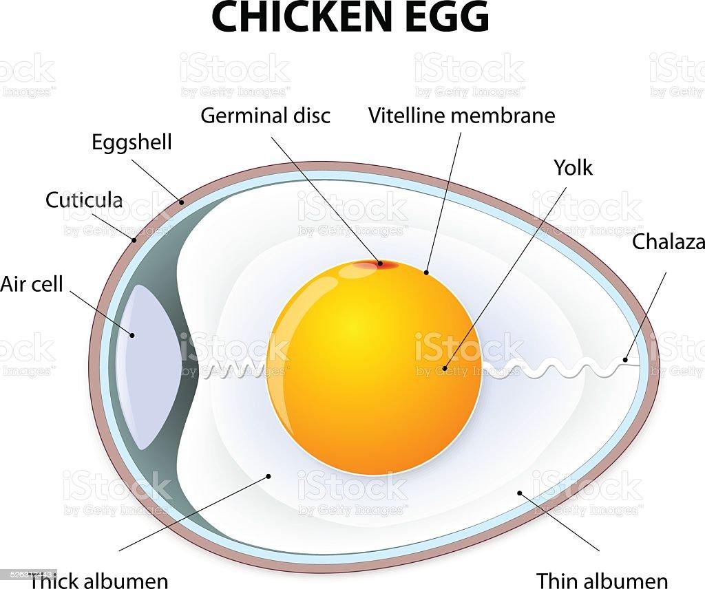 Chicken Egg Anatomy Stock Vector Art & More Images of Anatomy ...