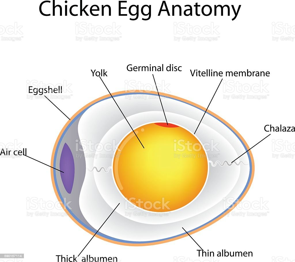 Chicken Egg Anatomy Stock Vector Art & More Images of Anatomy ...