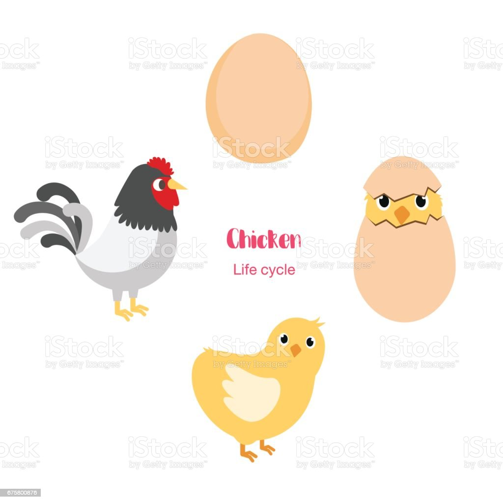 Chicken Egg Life Cycle Stock Vector Art & More Images of Adult ...