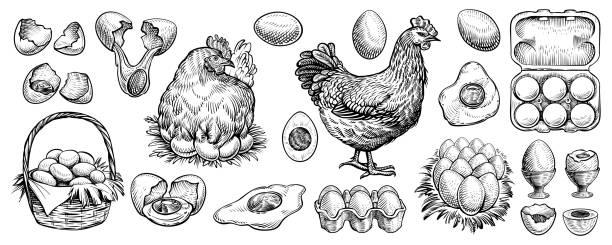 stockillustraties, clipart, cartoons en iconen met de eieren van de kip en de handgetrokken vector van de landbouwkip. gegraveerde elementen: nest, volle mand, gebroken, gekookt, vers en andere eieren. - chicken bird in box