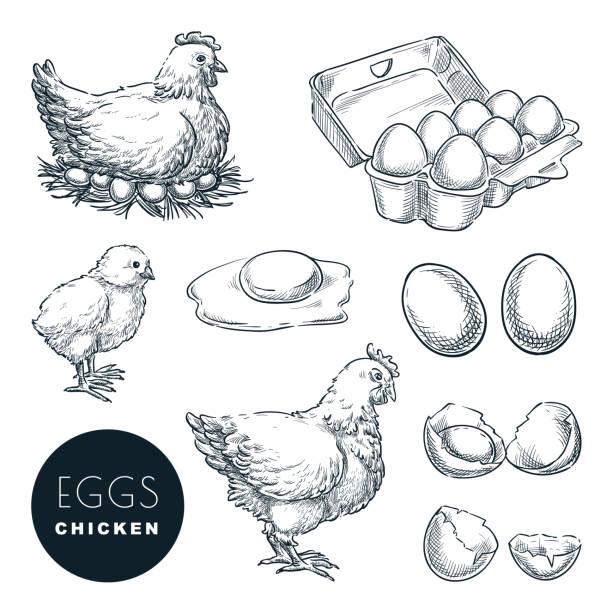 bildbanksillustrationer, clip art samt tecknat material och ikoner med kyckling gård färska ägg. vektor uppsättning skiss design element. handritad höna, fjäder fä och lite kyckling - ägg