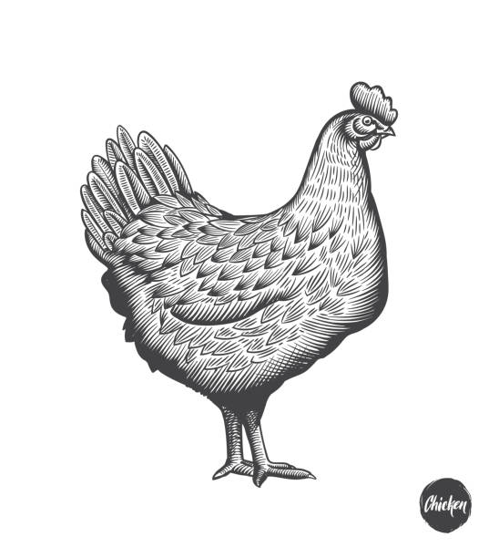 Chicken hand drawn illustration in engraving or woodcut style. Hen meat and eggs vintage produce elements. Badges and design elements for the chicken manufacturing. Vector illustration. Chicken hand drawn illustration in engraving or woodcut style. Hen meat and eggs vintage produce elements. Badges and design elements for the chicken manufacturing. Vector illustration chicken meat stock illustrations
