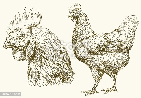 Chicken, hand drawn illustration.