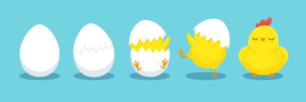 Chicken hatching. Cracked chick egg, hatch eggs and hatched easter chicks cartoon vector illustration Chicken hatching. Cracked chick egg, hatch eggs and hatched easter chicks. Cracks egg and easter mascot chicken. Newborn bird cartoon vector illustration female animal stock illustrations