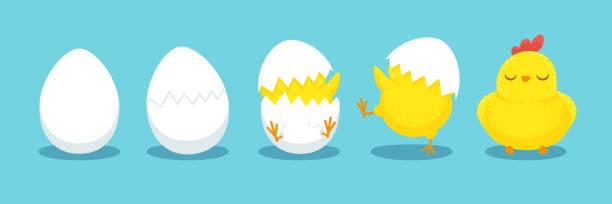 hühnerschlüpfen. knaberes schick ei, luke eier und geschlüpfte osterküken cartoon vektorabbildung - maul stock-grafiken, -clipart, -cartoons und -symbole