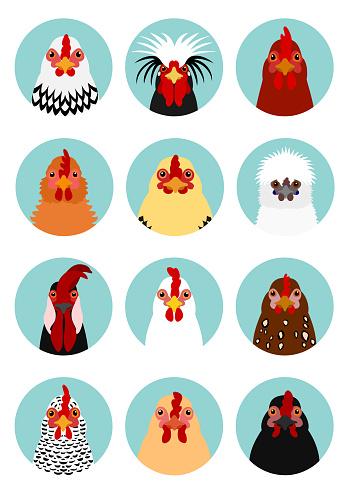 Kyckling Huvuden Som-vektorgrafik och fler bilder på Boskap