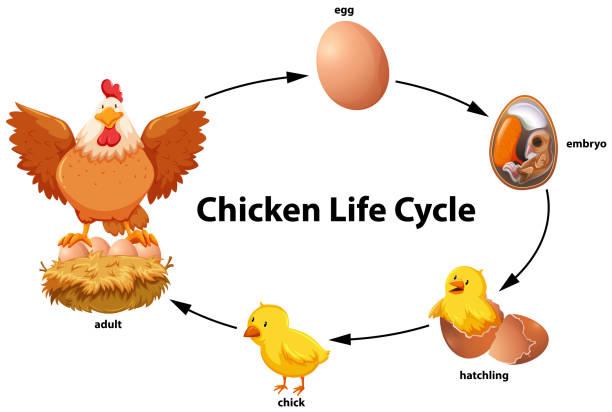 chicken life cycle diagram vector art illustration