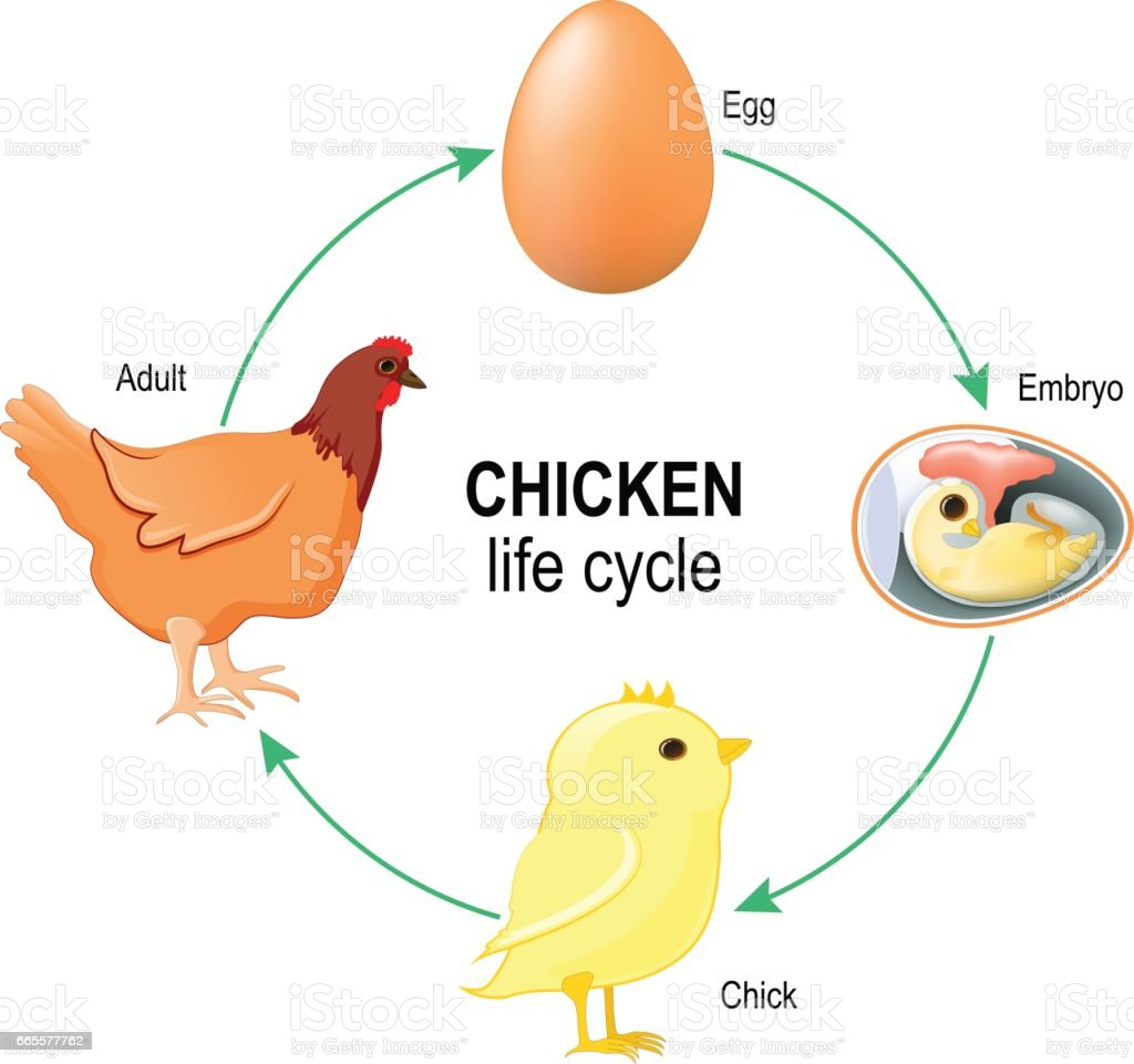 Chicken Life Cycle Stock Vector Art & More Images of Anatomy ...