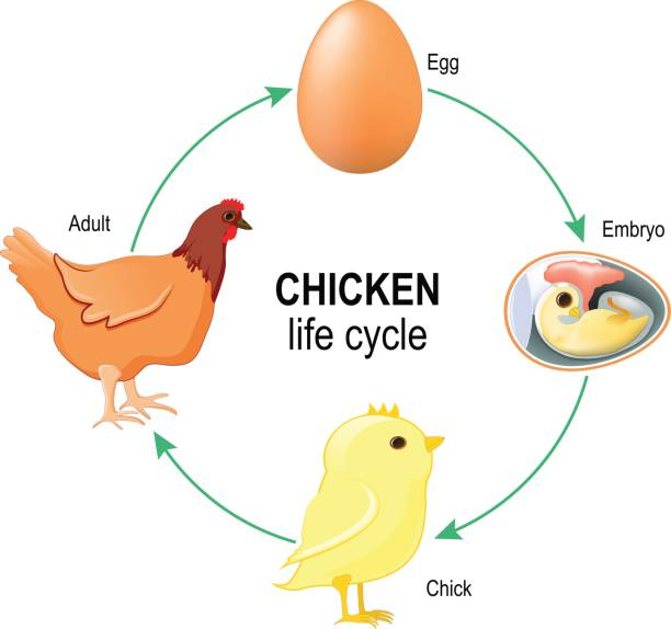 Royalty Free Hen And Egg Clip Art, Vector Images ... - photo#21