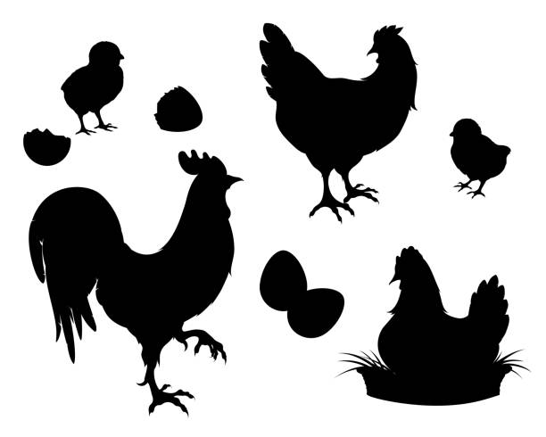 Chicken,rooster,Chicks,eggs, black silhouette Chicken,rooster,chickens,eggs.Chicken farm set black silhouettes. Isolated elements of the illustration.Vector EPS 10 rooster stock illustrations