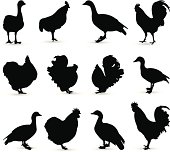 vector file of chickens