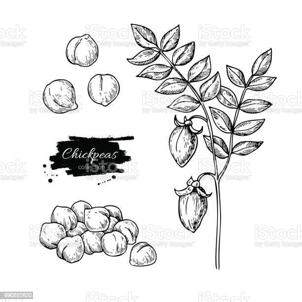 Chickpeas hand drawn vector illustration isolated vegetable engraved vector id690852620?b=1&k=6&m=690852620&s=612x612&h=ugnb7wqkvxdi3fcxs39dshkvrlntcmkopmpeud2mipy=