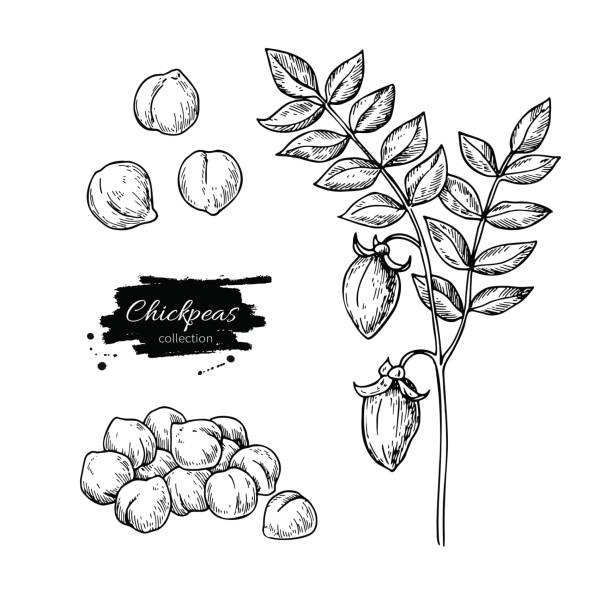 Chickpeas hand drawn vector illustration. Isolated Vegetable engraved style object. Chickpeas hand drawn vector illustration. Isolated Vegetable engraved style object. Detailed vegetarian food drawing. Farm market product. Great for menu, label, icon chick pea stock illustrations